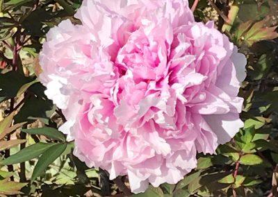 Flor rosa enorme llamada peonía
