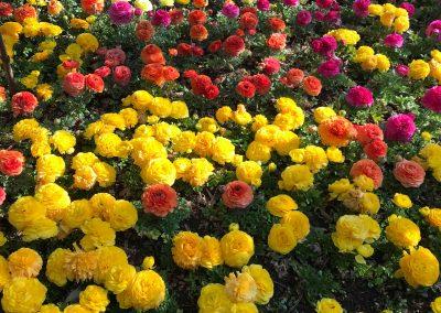 Flores de colores amarillos, rojos y rosas llamados renúnculos
