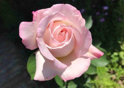 Flor rosa en primer plano